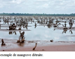 mangrove_détruite