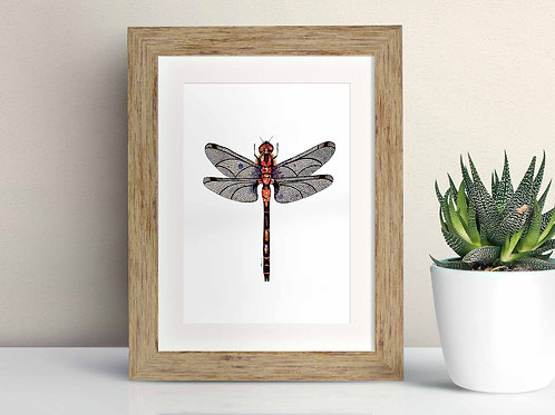 White Faced Darter framed art illustration by Rebecca Sawyer at R.Sawyer Designs