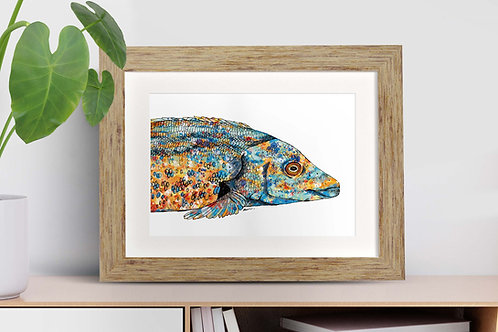 Cuckoo Wrasse framed art illustration by Rebecca Sawyer at R.Sawyer Designs