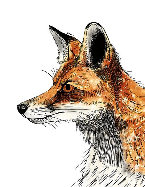 Wildlife illustrations