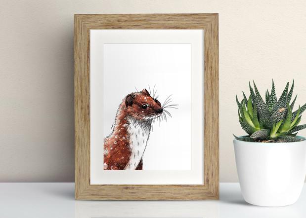 Framed Weasel illustration