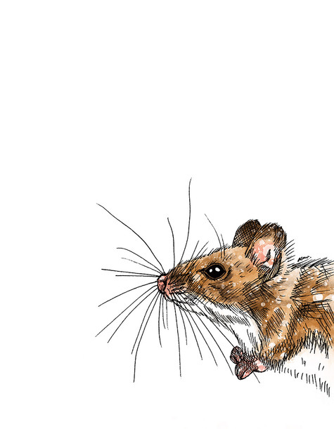 Field Mouse illustration