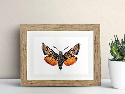 Hummingbird Hawk Moth framed art illustration by Rebecca Sawyer at R.Sawyer Designs