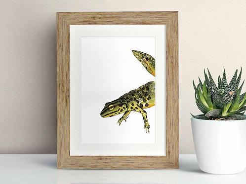Smooth Newt framed art illustration by Rebecca Sawyer at R.Sawyer Designs