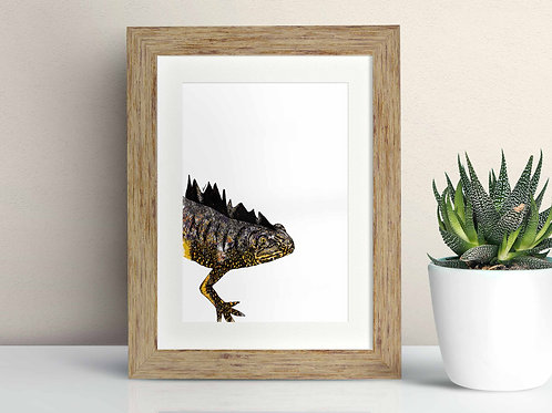 Great Crested Newt framed art illustration by Rebecca Sawyer at R.Sawyer Designs