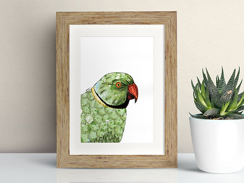Ring-necked Parakeet framed art illustration by Rebecca Sawyer at R.Sawyer Designs
