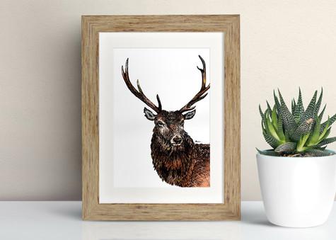 Framed Red Deer illustration