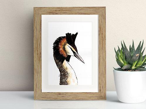 Great Crested Grebe framed art illustration by Rebecca Sawyer at R.Sawyer Designs