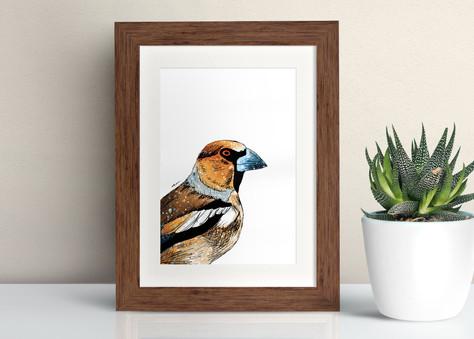 Framed Hawfinch illustration