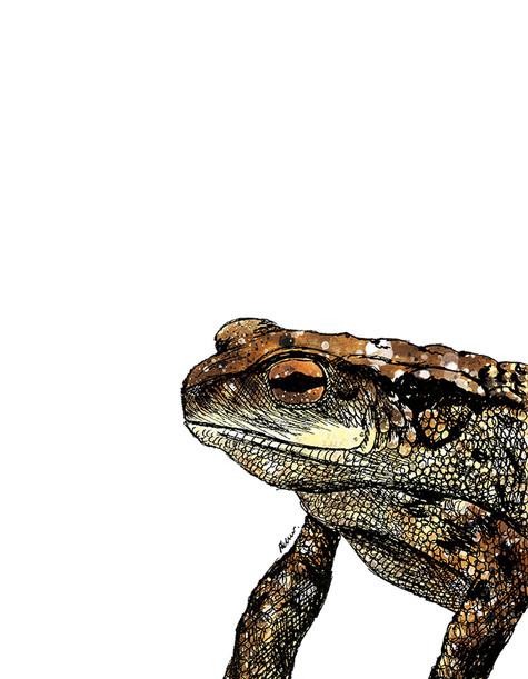 Common Toad illustration