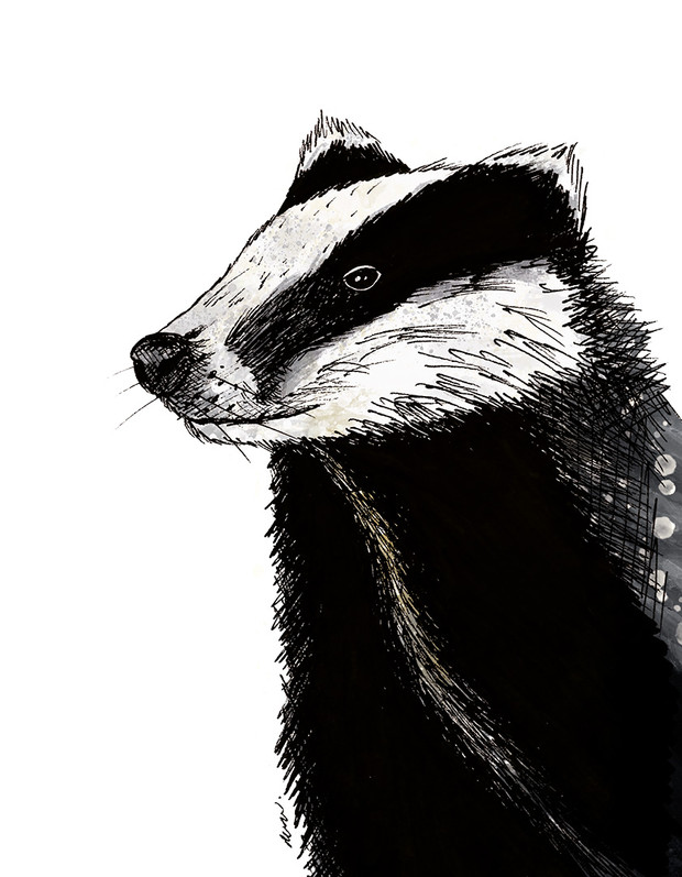 European Badger illustration