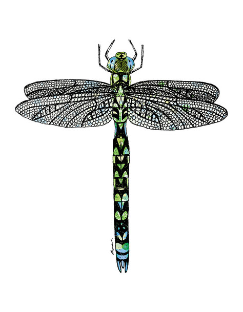 Southern Hawker Dragonfly illustration