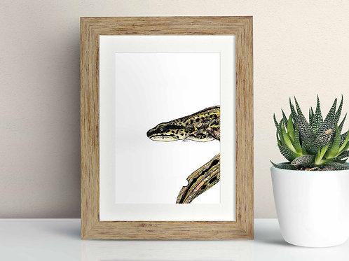 Palmate Newt framed art illustration by Rebecca Sawyer at R.Sawyer Designs