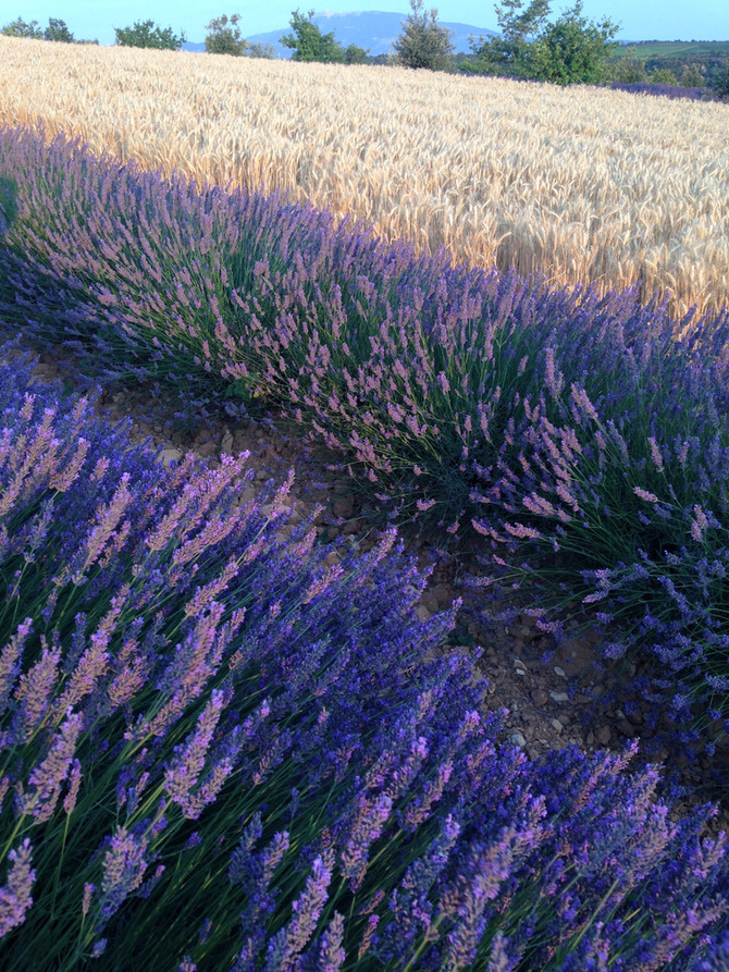 The Best time to see the Lavender bloom in Provence.