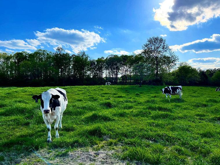 april cows.jpg