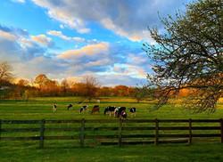 calves in the yard.jpg