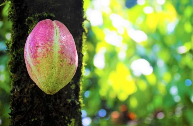 Cacao fruit from a farm in Peru with a direct contract