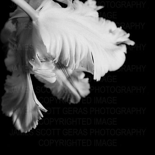 Parrot Tulip III