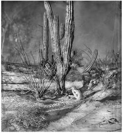 San Felipe Cactus
