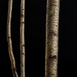 Black Birch I 36 x 36