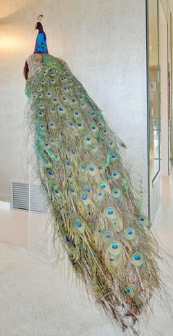 Green Indian Peacock circa 1965