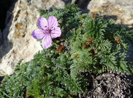 La caracola del Cabo de Creus (Erodium foetidum), una de las plantas más amenazadas de España, somet