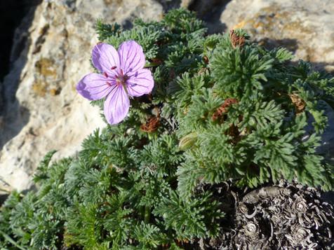La caracola del Cabo de Creus (Erodium foetidum), una de las plantas más amenazadas de España