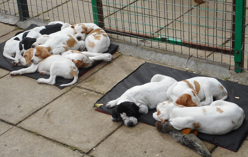 Flinthill Puppies