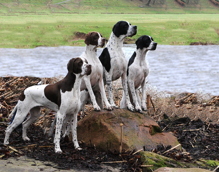 Four Flinthill-bred dogs