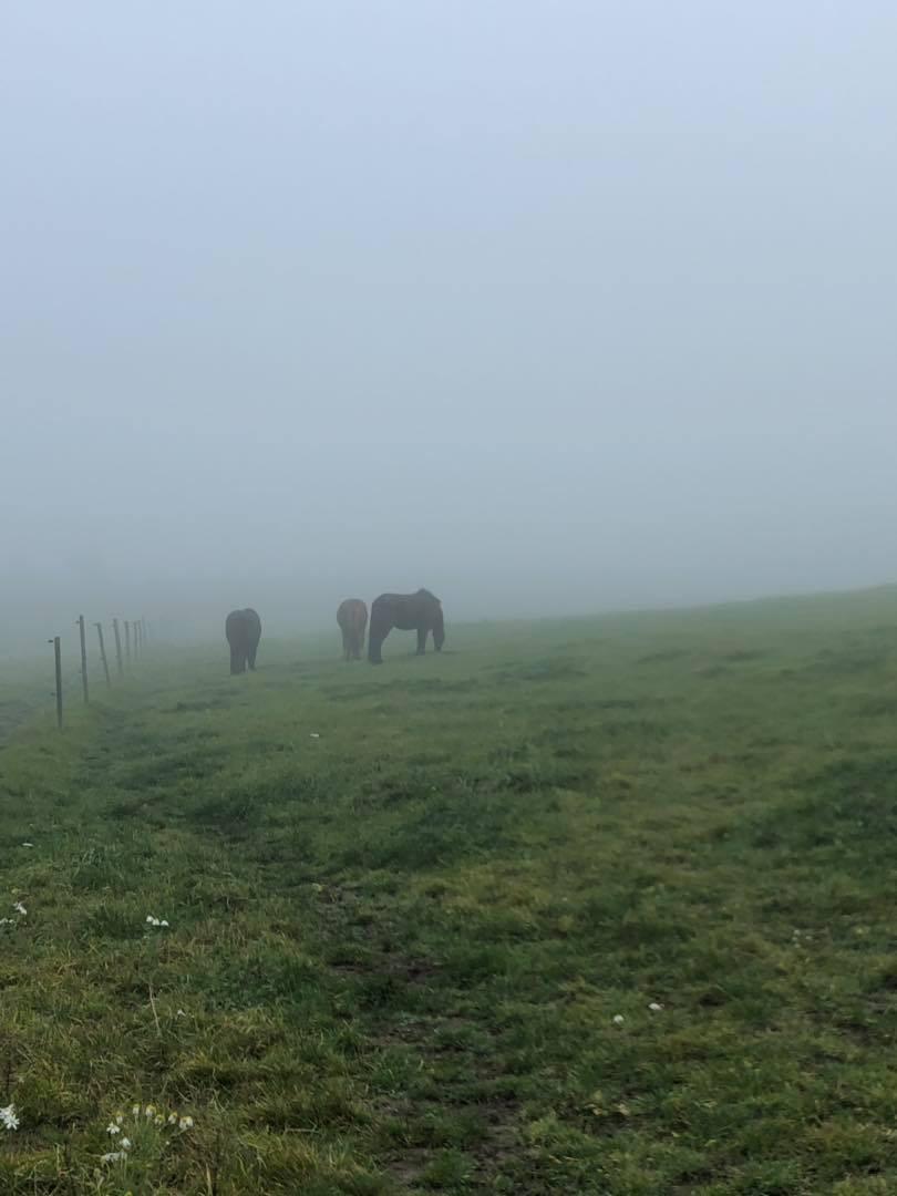 Islandshästar i Glumslöv