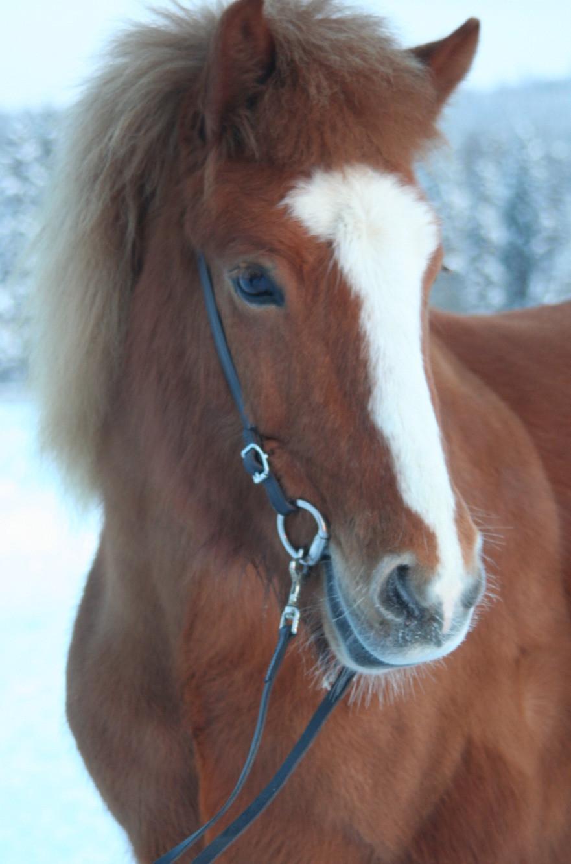 Blesa fra Søborghus, islandshäst