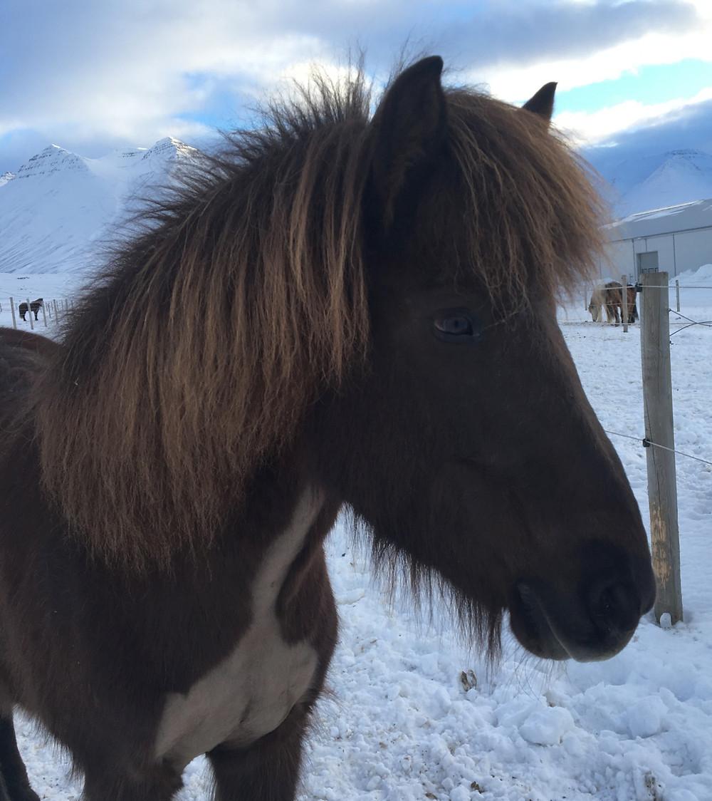 Sóta frá Steinnesi, islandshäst, Hólar