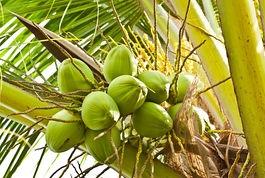 青いココナッツの実