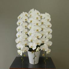 ③3F白12~13輪開花