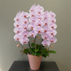 ⑤3Fピンク10~11輪開花