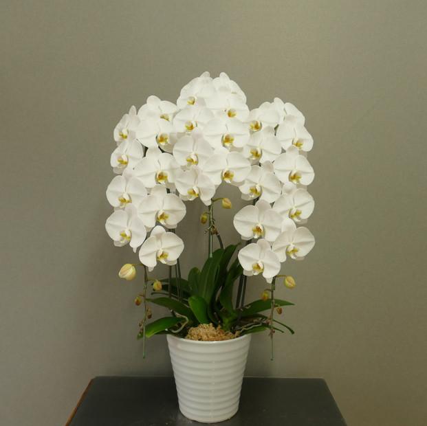 ① 3F白9~10輪開花