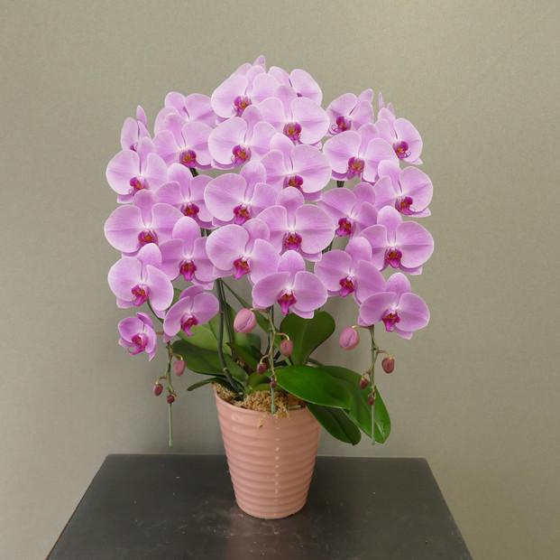 ④3Fピンク9~10輪開花