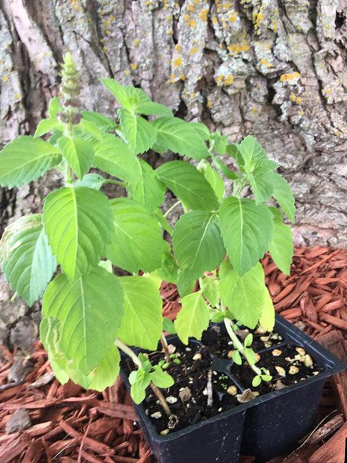Holy Basil (1 Plant)