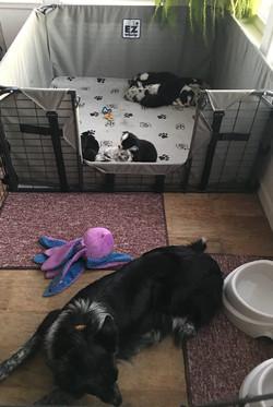 Puppy raising