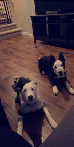 Kimber pups in Canada