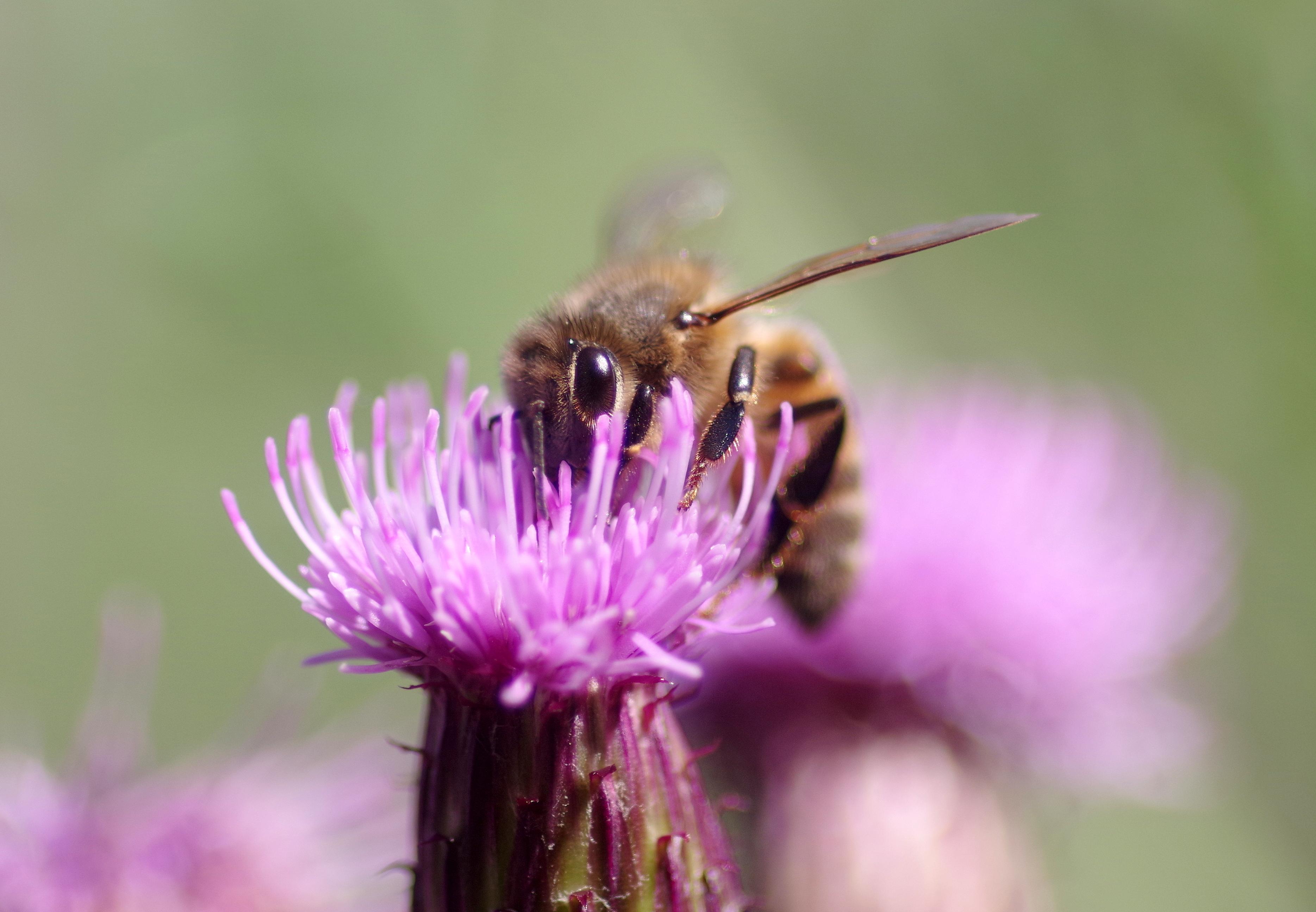 BEES & HOVERFLIES