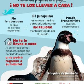 Protegiendo al Pingüino de Humboldt