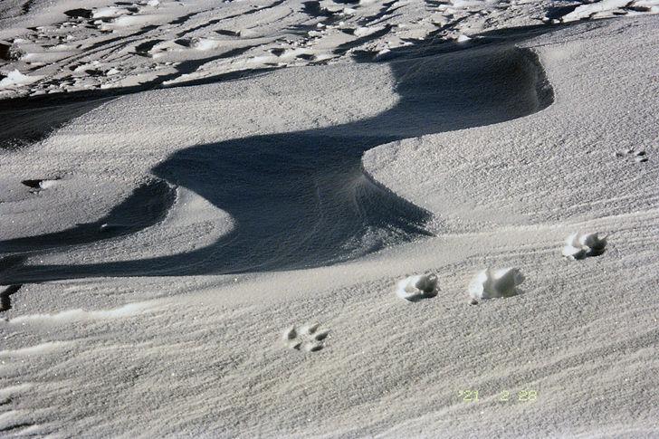 1 snow (possiblility of a wolf).jpg