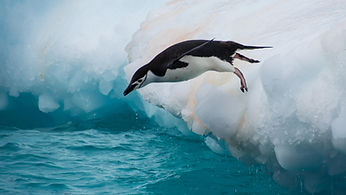 Penguins_Water_Chinstrap_penguin_Jump_Ic