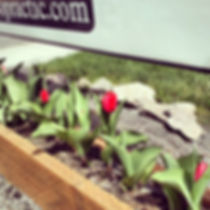 clinic tulips.jpg