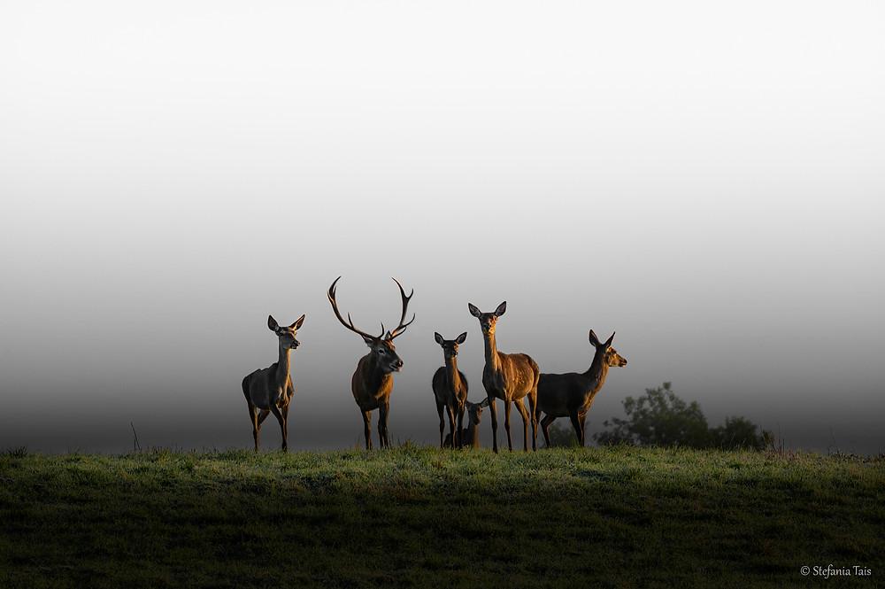 gruppo di cervi sulla Piana del Cansiglio all'alba