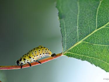 Larva di coccinella gialla