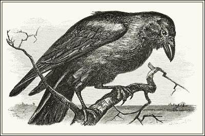 raven 3.jpg