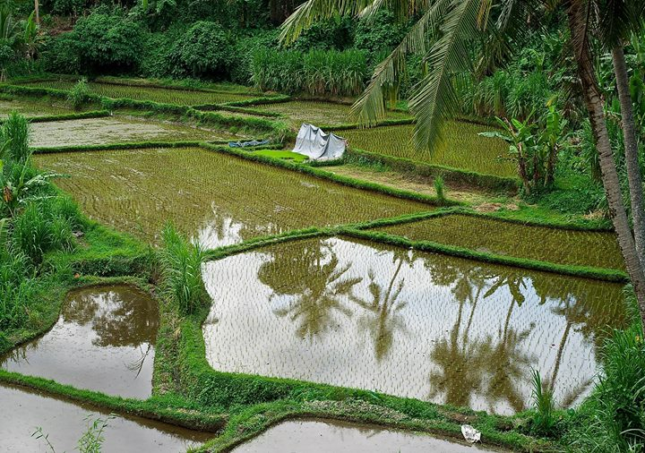 Rice terraces at the Junjungan Village, Ubud, Bali