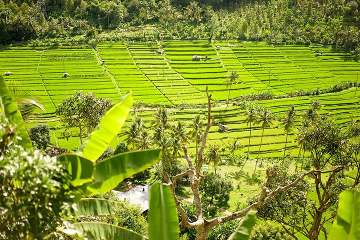 Rice terraces on the way from Seririt to Tabanan, Bali, Indonesia